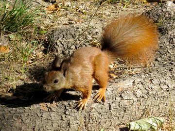 Kleine Eichhörnchen №35707