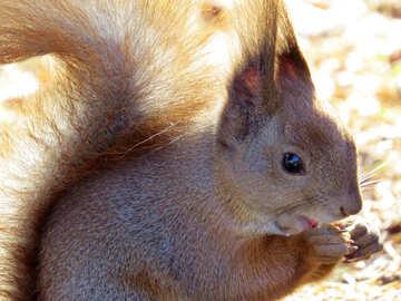 Eichhörnchen mit Nuss №35674