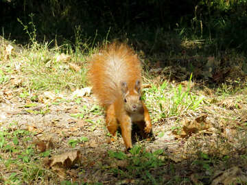 Red squirrel №35708
