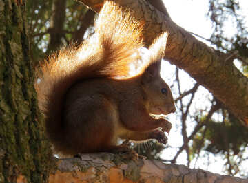 Squirrel on tree №35685