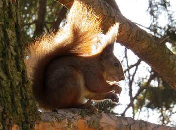 Scoiattolo sull`albero №35685