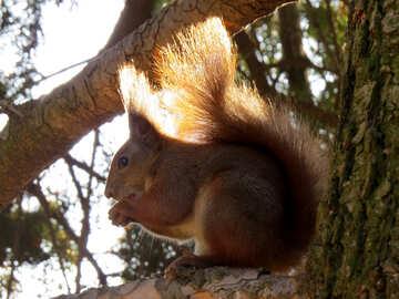 Eichhörnchen auf dem Baum №35686