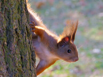 Animal Squirrel №35682