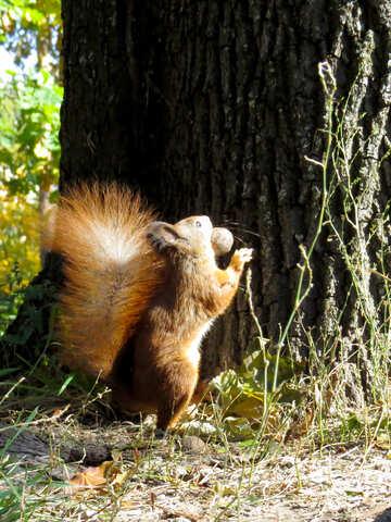 Eichhörnchen mit Nuss №35703
