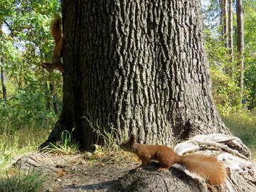 Zwei Eichhörnchen №35718
