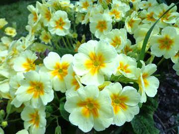 Varietal violets №35740