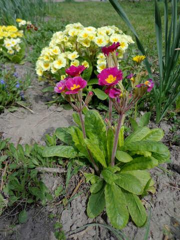 Wild violets №35742