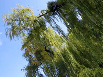 Willow branch №35996
