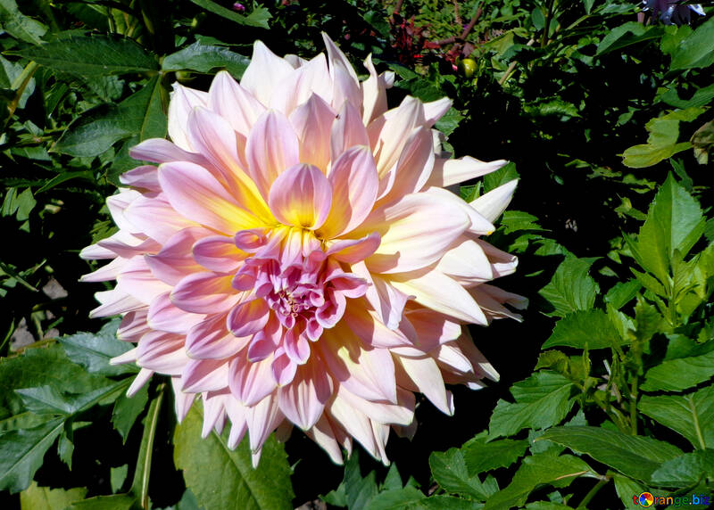 Grosse Blume №35859