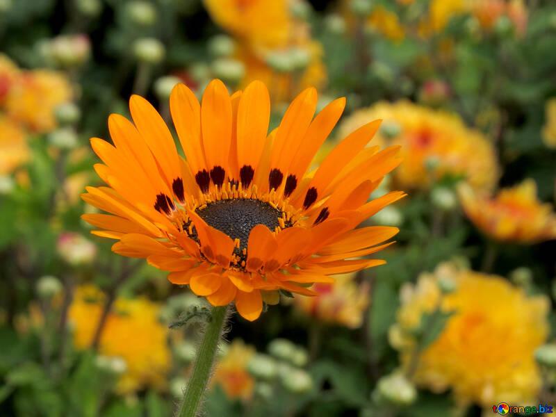 Orange flower №35810