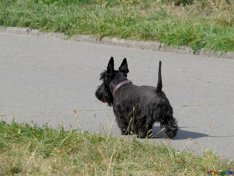 Scottish Terrier №35798