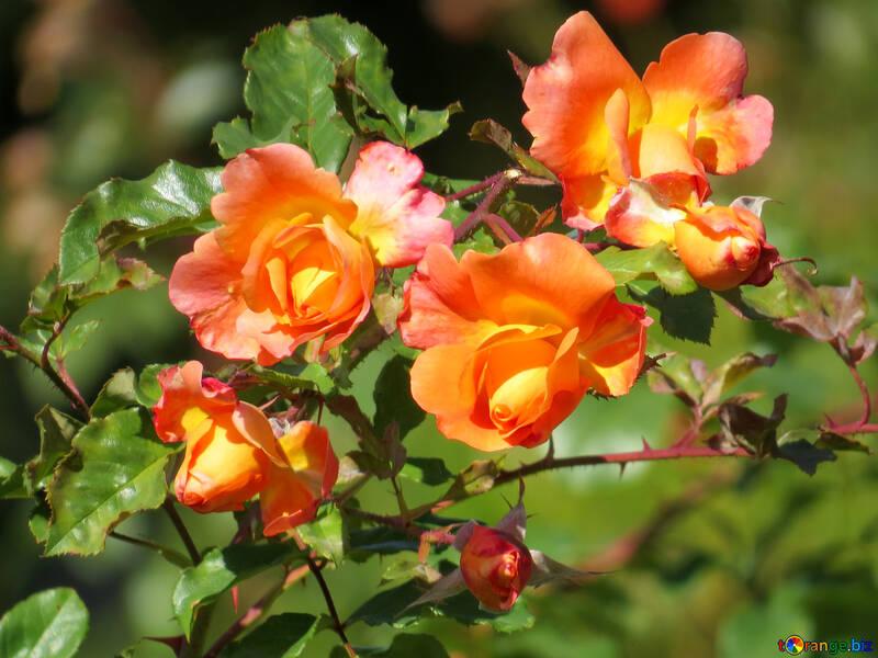 Wild rose flowers №35964