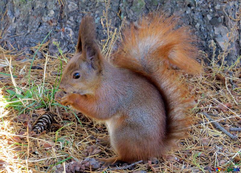 Eichhörnchen mit Knauf №35676
