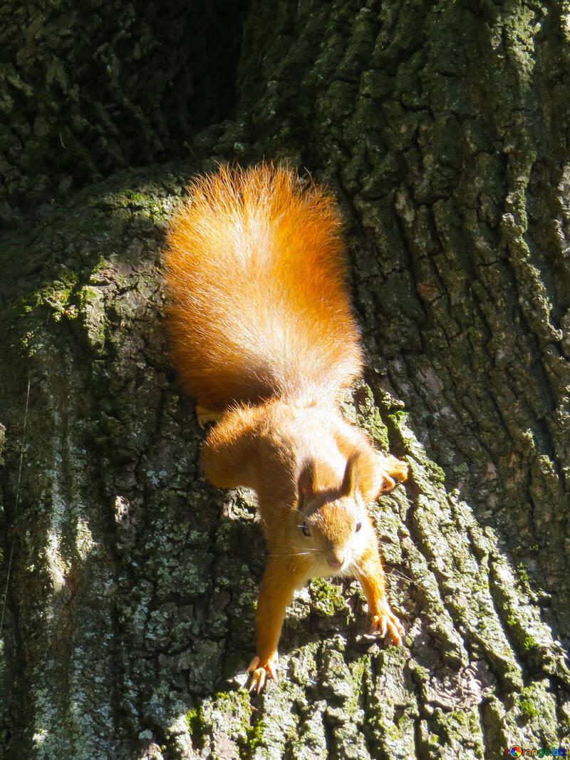 Eichhörnchen №35714