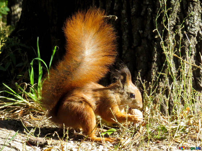 Squirrel and nut №35705