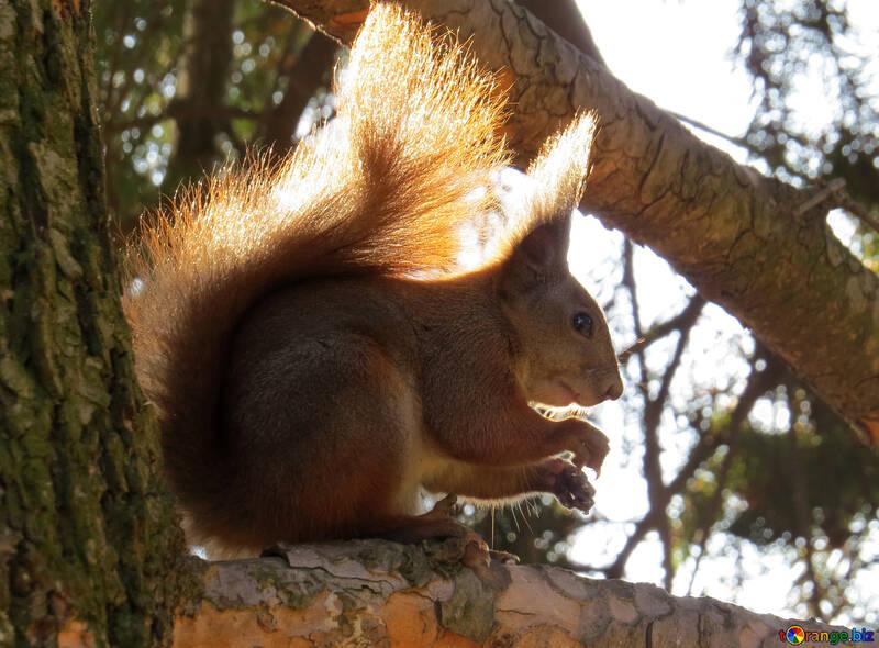Eichhörnchen auf Baum №35685