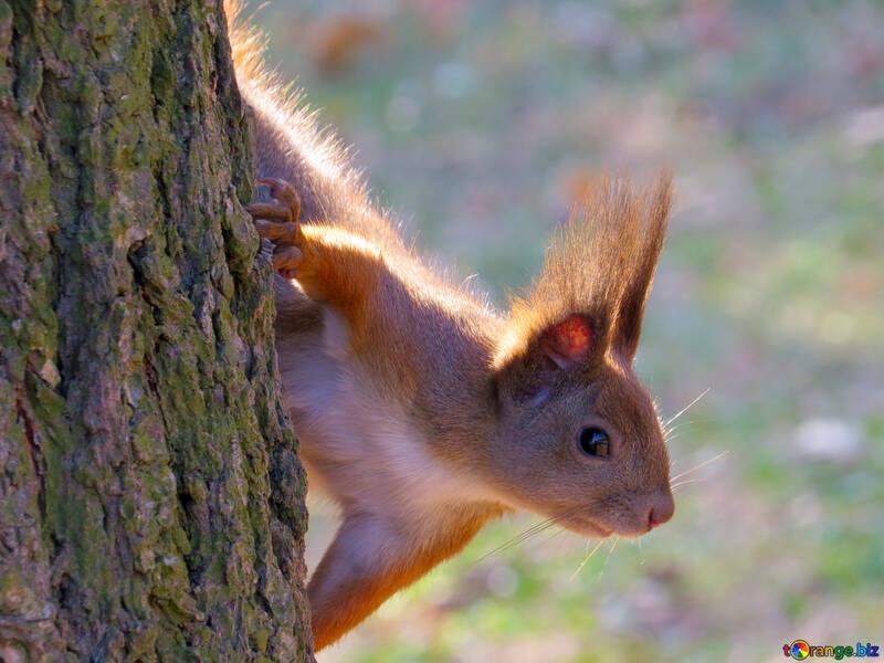 Tier Eichhörnchen №35682