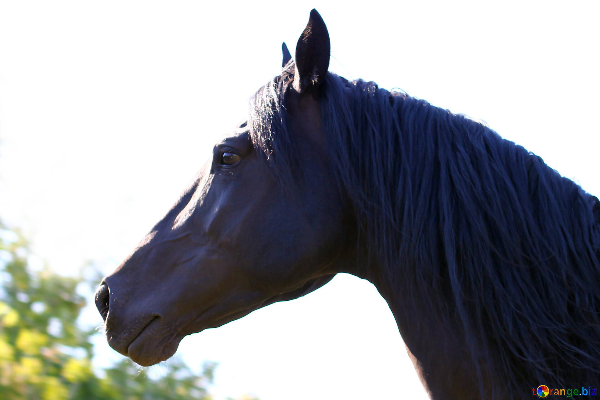Black Horse Horse S Head Horse 36659