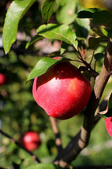 Natural apple №36960
