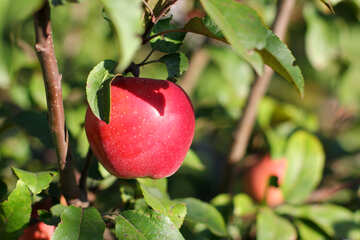 Red apple on tree №36968