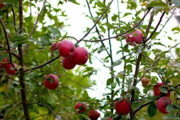 Red apples grow on Apple trees №36127