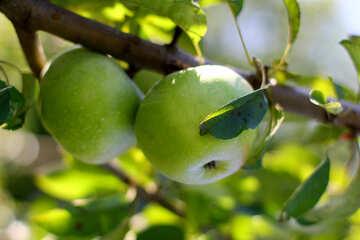 Красивые яблоки  №36957