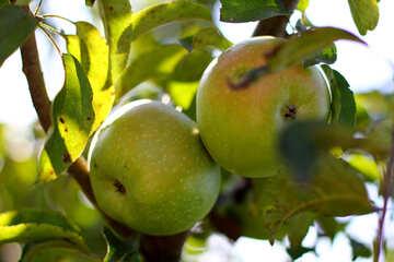 Green apples №36954