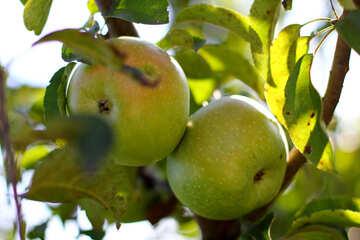 Green apples on branch №36955