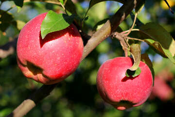 Red apples №36963