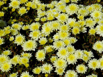 Chrysanthemums for the background №36895