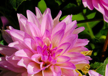 Dahlia flower №36099