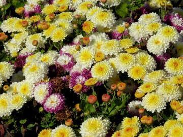 Assorted chrysanthemums №36899