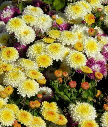 A lot of chrysanthemums №36900