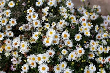 Gartenblumen wie Gänseblümchen №36146