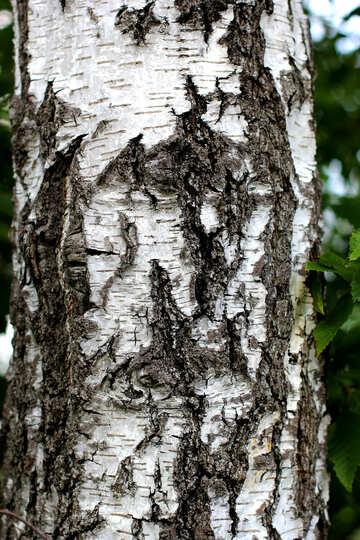 Birch bark №36149