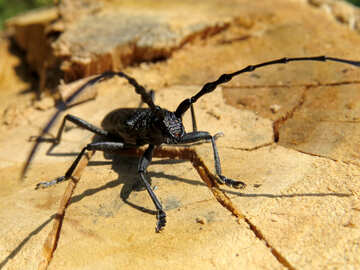 Moustached timber beetle №36346