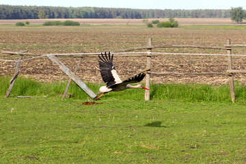 Stork takes off №36804