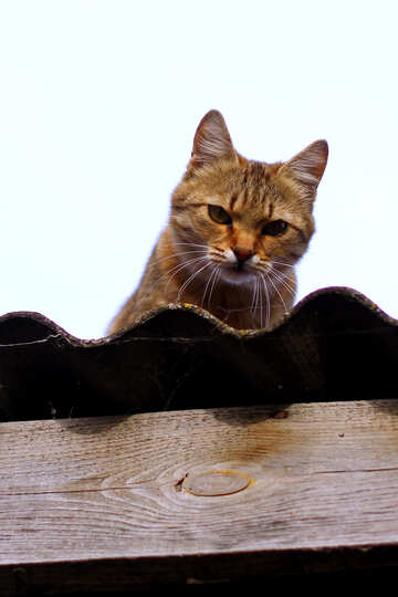 Cat watching from the roof №36547