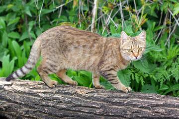Wild cat №36560