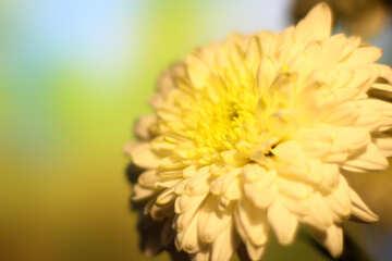 Chrysanthemum  wallpaper for desktop №36982