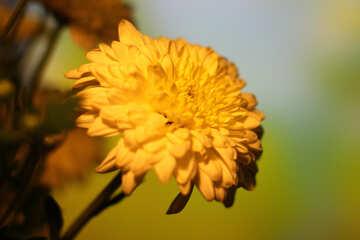 Yellow chrysanthemum №36983