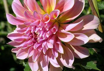 Beautiful flower dahlia №36104