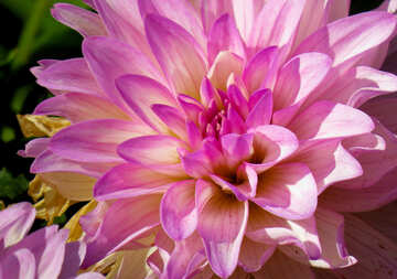 Dahlia flower cover №36100