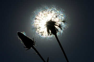 Dandelion flower against the backdrop of the Sun №36973