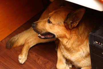 Der Hund unter dem Tisch №36312