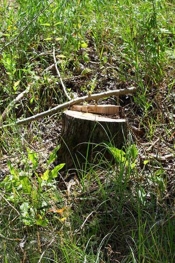 Fresh stump №36239