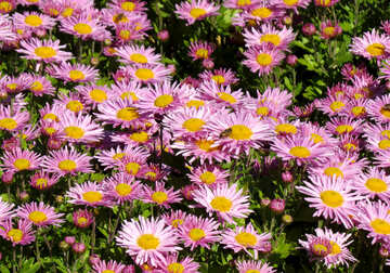 Flowers of Chrysanthemum on the desktop №36908