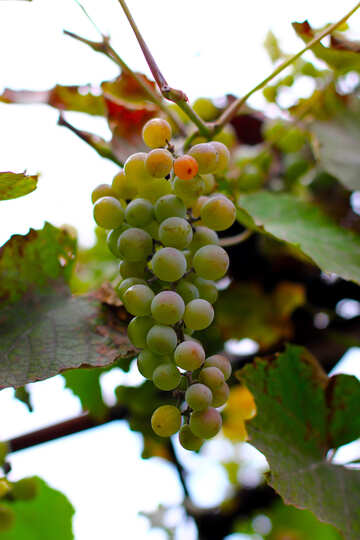 Grapes on branch №36131