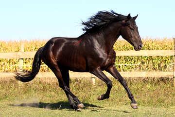 Black horse №36655