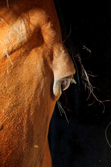 Horse eye №36582
